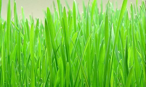 jus-d'herbe-de-blé