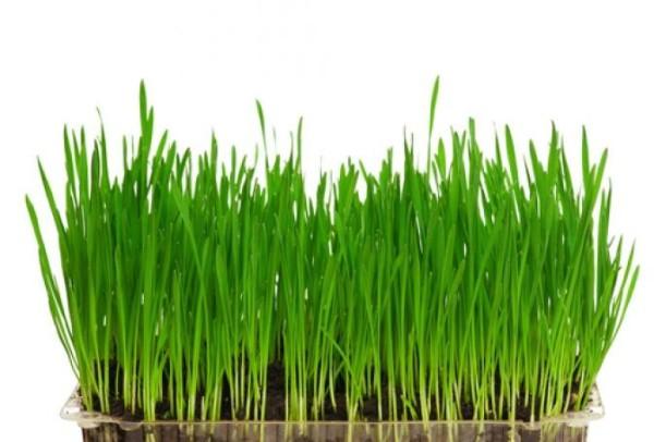 effets-secondaires-du-jus-d'herbe-de-blé