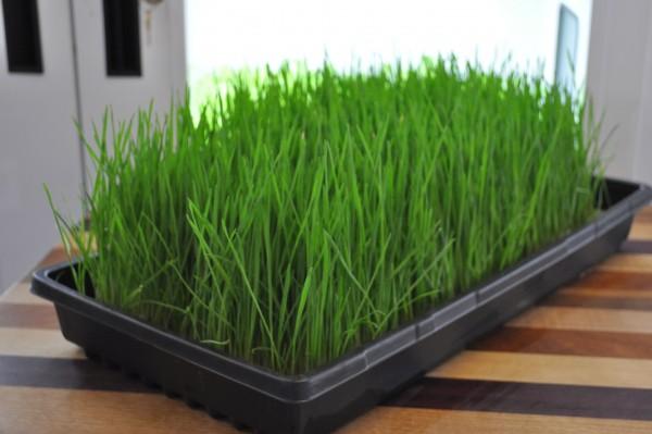 comment faire pousser de l 39 herbe de bl en 5 tapes simples vitaality jus de fruits frais. Black Bedroom Furniture Sets. Home Design Ideas